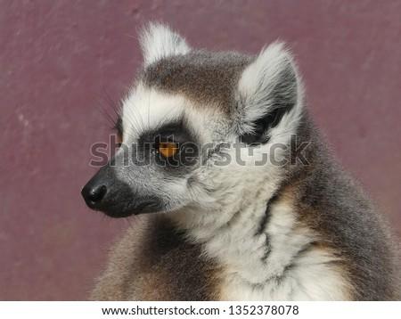 Ring tailed lemur #1352378078