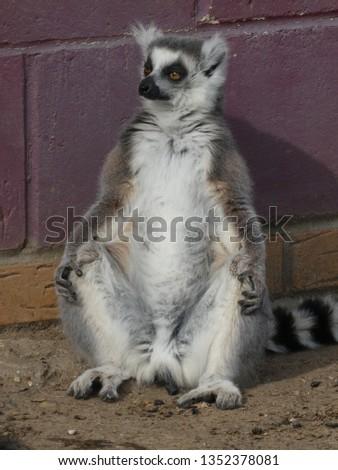 Ring tailed lemur #1352378081