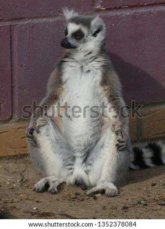 Ring tailed lemur #1352378084