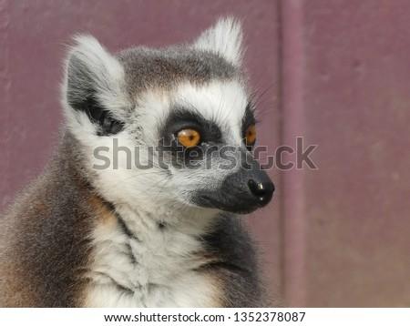 Ring tailed lemur #1352378087