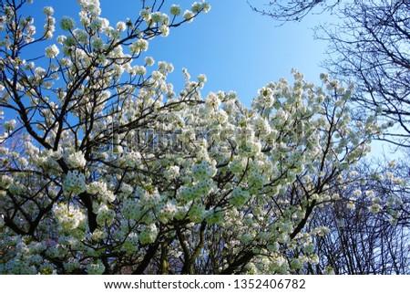 White Spring blossom against a blue sky. #1352406782