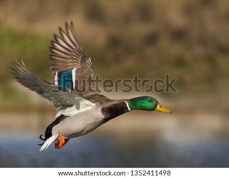 Mallard on the fly  #1352411498