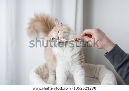 cream colored maine coon cat getting teeth brushed by owner #1352521298