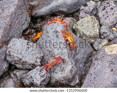 The red crabs on the stones. Galapagos Islands, Ecuador. Wild nature of South America. #1352906600