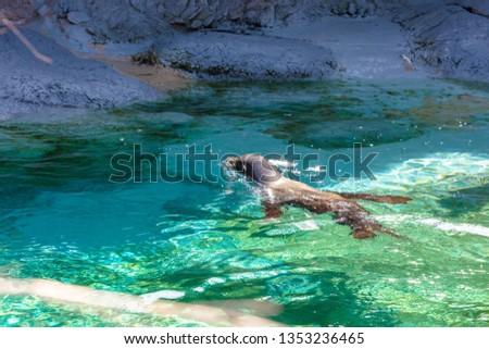 Motion of sea lion swimming #1353236465