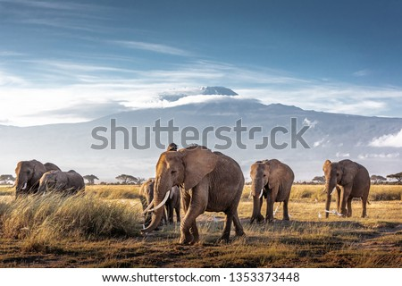 Herd of large African elephants walking in front of Mount Kilimanjaro in Amboseli, Kenya Africa Royalty-Free Stock Photo #1353373448