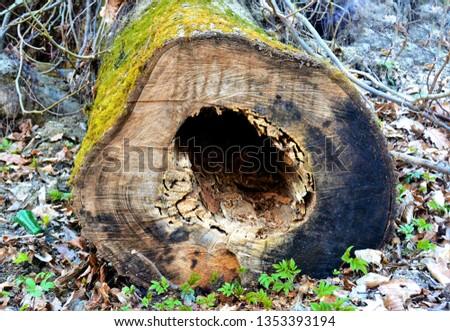 A hollow in a tree cut stem #1353393194
