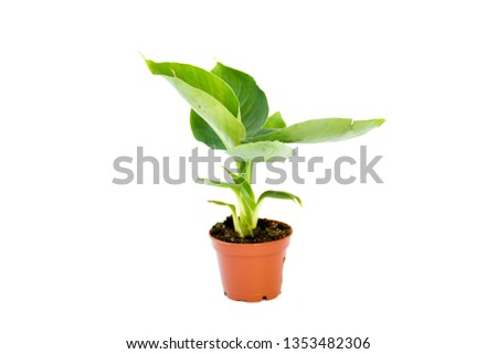 Side view green freshness young banana plant growing in brown pot with many green leaves ,isolated white background . Plant home decoration concept. #1353482306