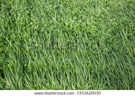 Annual ryegrass and clover grown in a rural field for stock food and hay  #1353620030