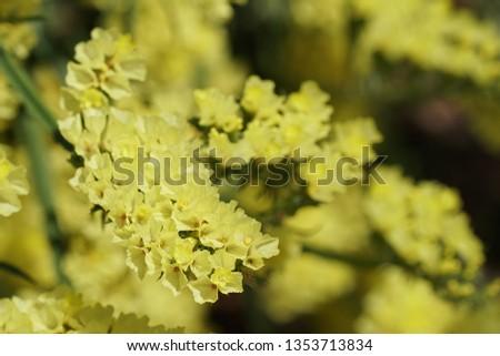 sea lavender or  Limonium binervosum #1353713834