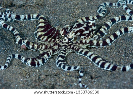 Incredible Underwater World - Mimic octopus - Thaumoctopus mimicus. Diving and underwater photography. Tulamben, Bali, Indonesia. #1353786530