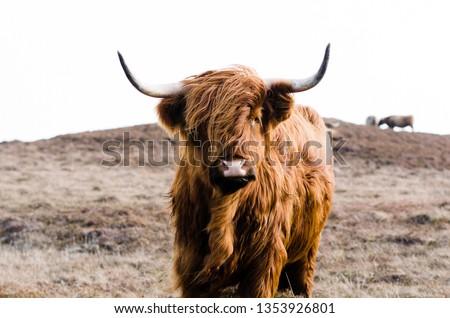 Highland Cow on Islay #1353926801
