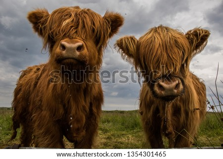 Two Highland Cows #1354301465