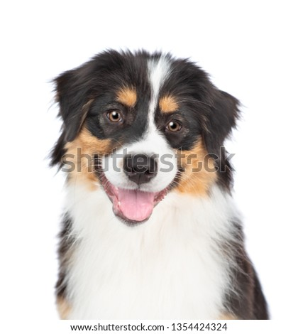 Happy young Australian Shepherd dog with tongue out. Isolated on white background #1354424324