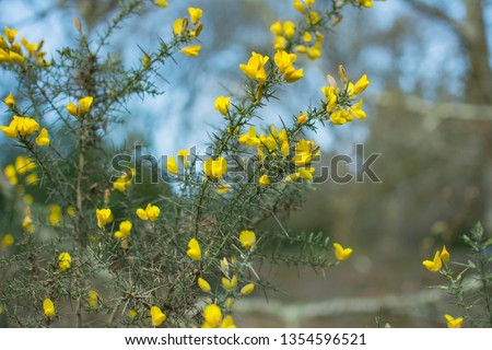Ulex commonly knowns as gorse, furze or whin. Thorny evergreen shrub with bright yellow flowers. Photo taken on Dartmoor Devon England UK. Yellow flowers with thorns against pale blue background. #1354596521