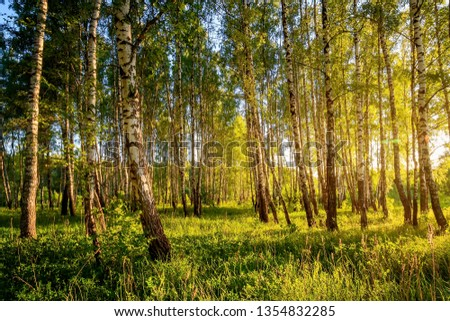 A scene of beautiful sunset in a birch forest on a sunny early summer or spring evening. Landscape. #1354832285