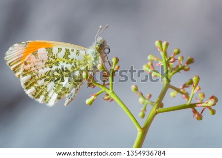 Wonderful portrait of a beautiful butterfly, the Orange tip (Anthocharis cardamines)