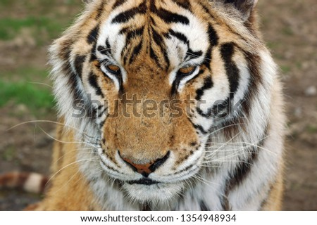 Face of a Siberian tiger  #1354948934