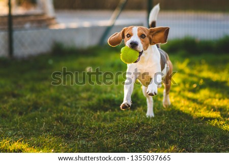 Beagle dog runs in garden towards the camera with green ball. Sunny day dog fetching a toy. Copy space. Royalty-Free Stock Photo #1355037665