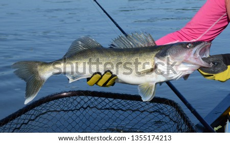 The medium bronze walleye fish being held horizontally in gloved hands over blue water a net and fishing rod on a sunny day #1355174213