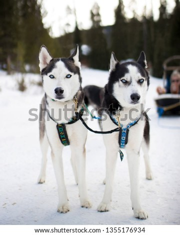 large and small pictures of the most beautiful Siberian husky #1355176934