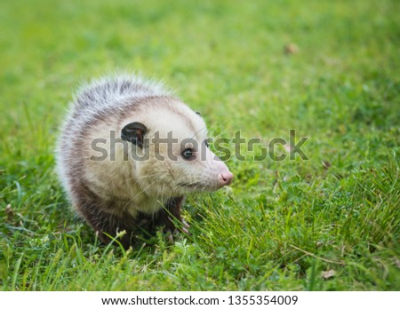 Male possum, Virginia Opossum, foraging for food in grass