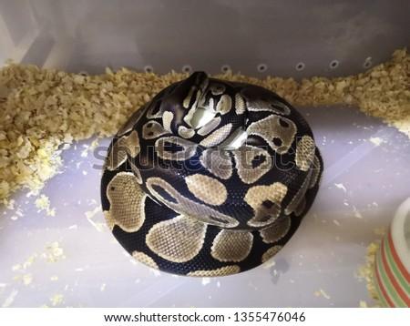 Pythons Hatching in Everglades, Snake egg.