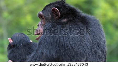 chimpanzee with his child , South Africa #1355488043