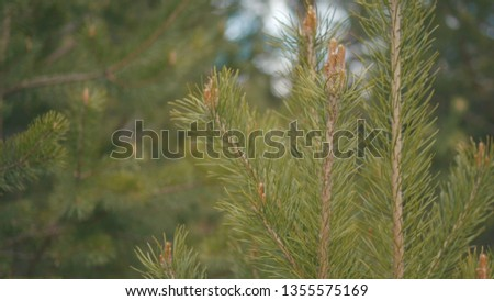 Close-up of fresh green young pine branch swaying in the wind. Plants and trees #1355575169