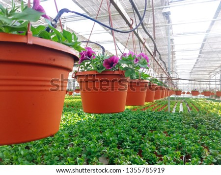Cultivated ornamental flowers growing in a commercial plactic foil covered horticulture greenhouse #1355785919