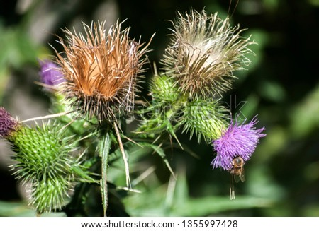 A beautiful color of blooming head donkey thistle closeup as natural floral background #1355997428