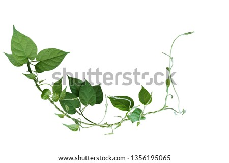 Twisted jungle vines liana plant with heart shaped green leaves isolated on white background, clipping path included. #1356195065