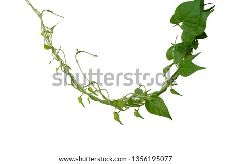 Twisted jungle vines liana plant with heart shaped green leaves isolated on white background, clipping path included. #1356195077