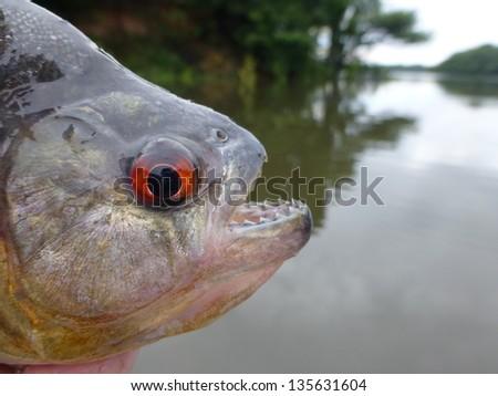 Piranha (Serrasalmidae) in the tributary of the Rio Negro, Amazonas, Brazil