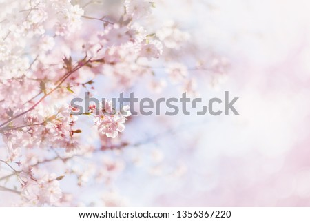 Cherry blossom with defocused background. Pink sakura flowers, text place. Sakura power flowers. Cherry bloom on blue sky and sun light #1356367220