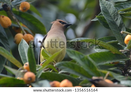 Single Cedar Waxwing sitting alone, beautiful, colorful, and regal in a loquat tree eating, perching, hanging, in Houston, Texas, March 31, 2019 #1356516164