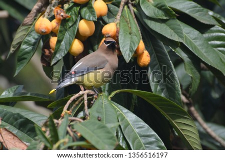 Single Cedar Waxwing sitting alone, beautiful, colorful, and regal in a loquat tree eating, perching, hanging, in Houston, Texas, March 31, 2019 #1356516197