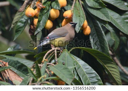 Single Cedar Waxwing sitting alone, beautiful, colorful, and regal in a loquat tree eating, perching, hanging, in Houston, Texas, March 31, 2019 #1356516200