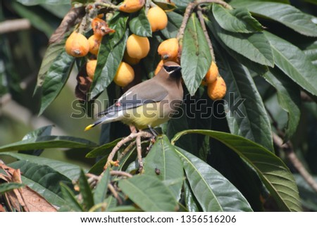 Single Cedar Waxwing sitting alone, beautiful, colorful, and regal in a loquat tree eating, perching, hanging, in Houston, Texas, March 31, 2019 #1356516206