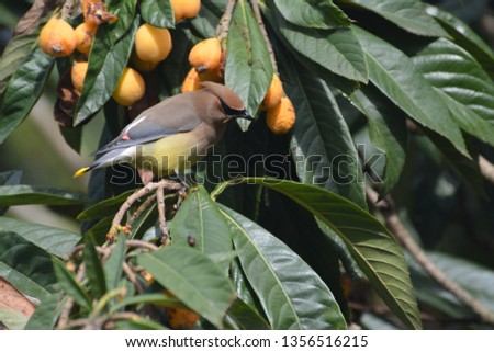Single Cedar Waxwing sitting alone, beautiful, colorful, and regal in a loquat tree eating, perching, hanging, in Houston, Texas, March 31, 2019 #1356516215