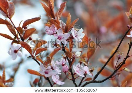 Cherry blossom #135652067