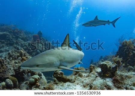 Caribbean Reef Shark #1356530936