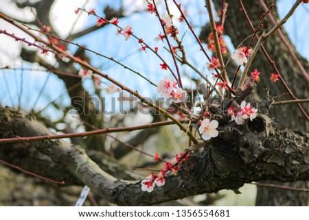 Beautiful plum blossom in Japan, Ume no Hana #1356554681