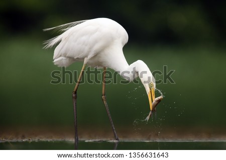 The great egret (Ardea alba), also known as the common egret fishing in the shallow lagoon.White heron with green background.Big white heron with fish on the beak. #1356631643