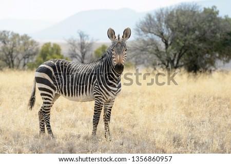 Mountain Zebra (Equus zebra) standing in grassland, Mountain Zebra National Park, South Africa Royalty-Free Stock Photo #1356860957