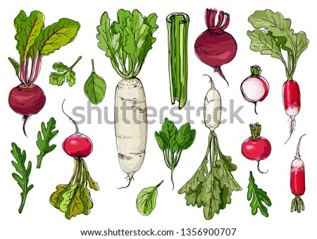 Daikon radish,celery, arugula, spinach,  beet drawn by a line on a white background. A sketch of food. Vector drawing #1356900707