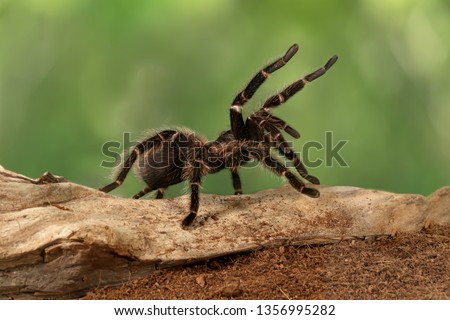 Closeup female of Spider Tarantula  (Lasiodora parahybana) in threatening position. Largest spider in terms of leg-span is the giant huntsman spider. Females can live up to 25 years. #1356995282