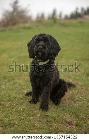 Black cockapoo puppy outdoors  #1357154522