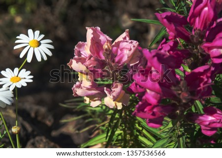Closeup of a big snapdragon, a flower on Tenerife and the Canaries in color dark rose with beige. Two flowers to the left of a marguerite and next to them the flowers of a purple snapdragon #1357536566