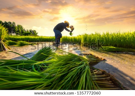 Agriculture farmer of Asia rice field work concept. Asian farmer working on rice field outdoor in Agricultural of Asia. Worker in rural work in farm with sunset background. #1357772060